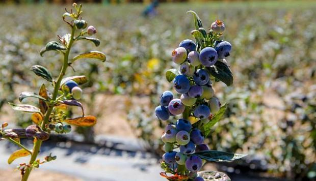 Hortifrut, Talsa anuncian fusión de arándanos en Perú